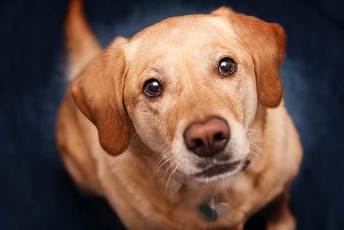 Inspection canine des punaises de lit dans les logements